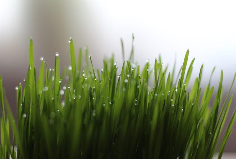 Per saperne di più: l'Erba di grano