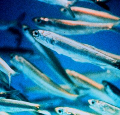 Per saperne di più: alici, acciughe e sardine