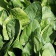 Per saperne di più: gli spinaci